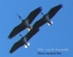 2006aug28_beermullah_strawnecked_ibis