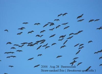 2006aug28_beermullah_strawnecked_ibis_2