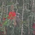 2011jul27_speckled_mousebird_marangu_vil