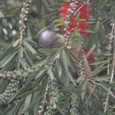 2011jul27_speckled_mousebird_marangu_vil_2