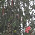 2011jul27_speckled_mousebird_marangu_vil_3