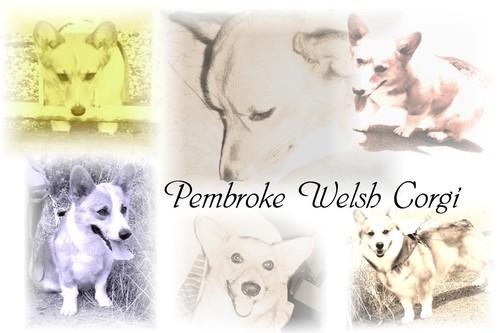 Pembroke_welsh_corgi_