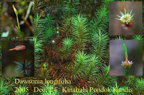 S2005dec24kinabalu_dawsonia_longifolia