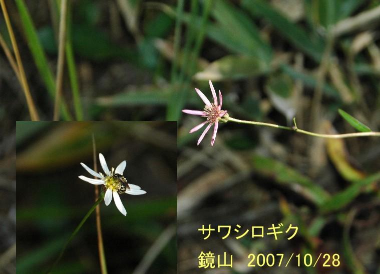 2007oct28sawasirogiku_069