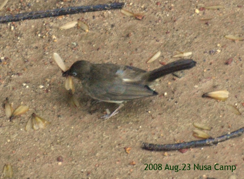 2008aug25_nusabulbul6