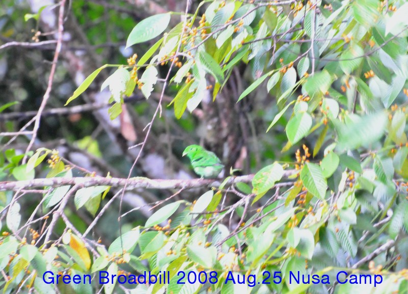 Sgreen_broadbill_2008_aug25_nusa__2