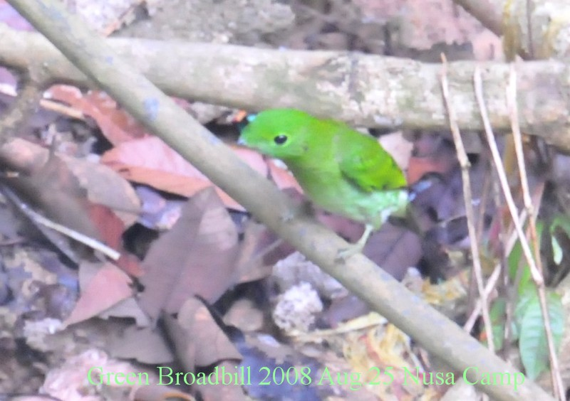 Sgreen_broadbill_2008_aug25_nusa_ca