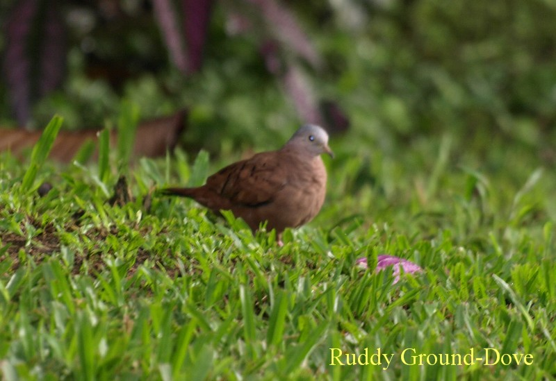 2008des27ruddy_grounddove_arenal_pa