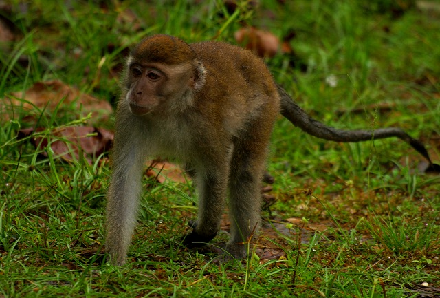 20100820_longtailed_macaque_bako_np