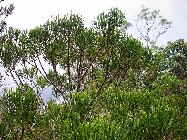 20100819bako_kerangas_forest_045