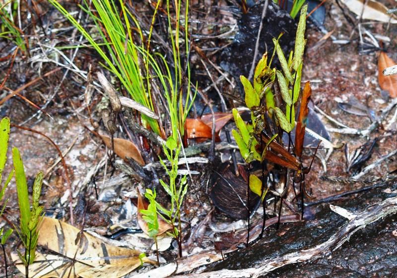 20100819bako_kerangas_forest_195