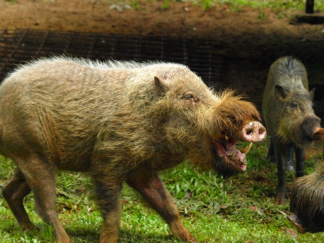 20100819bearded_pig_bakonp_13