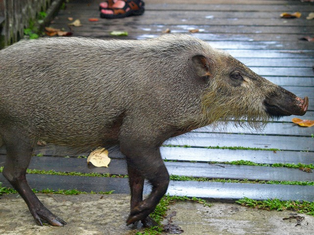 20100821_bearded_pig_bako_np32