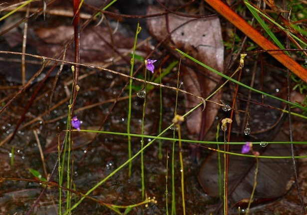 20100819bako_kerangas_forest_236