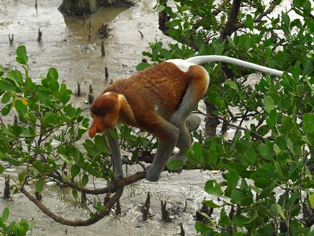20100819proboscis_monkey_bakonp_34