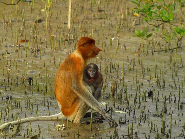 20100819proboscis_monkey_bakonp_42