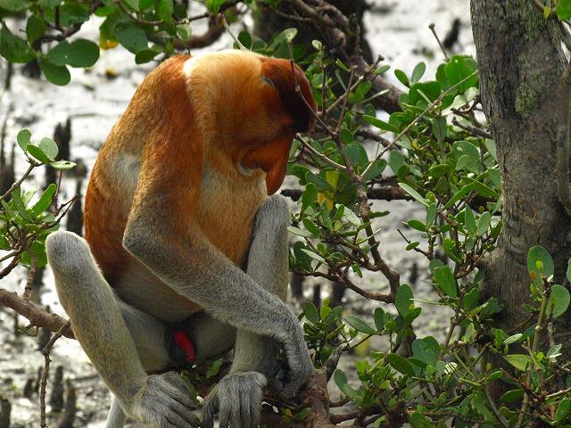 20100819proboscis_monkey_bakonp_52