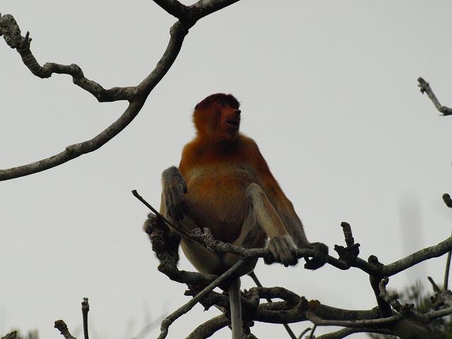 20100821_proboscis_monkey_bako_np32
