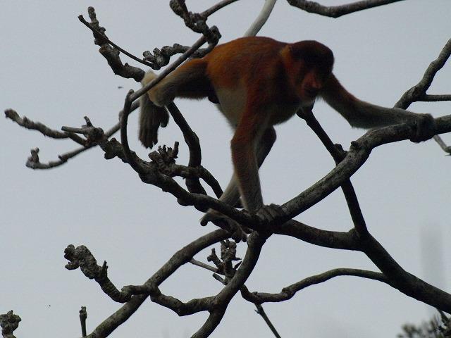 20100821_proboscis_monkey_bako_np36