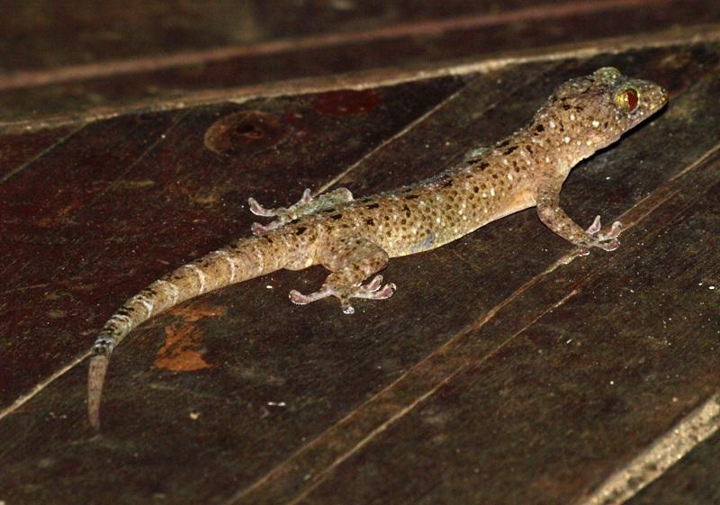 20100821_gecko_bako_nightwalk3