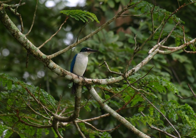20100821_whitecollared_kingfisher_2
