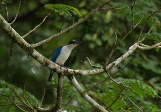 20100821_whitecollared_kingfisher_5