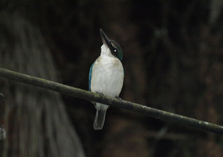 20100822_whitecollared_kingfisher_3
