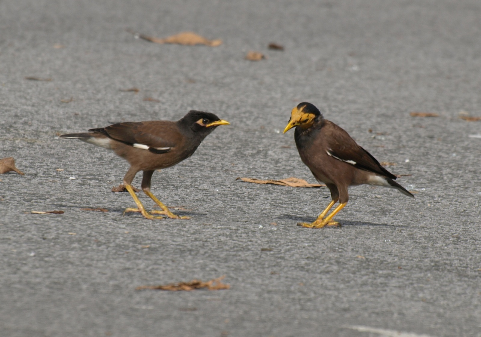 20100821_common_myna_kuching_tama_2