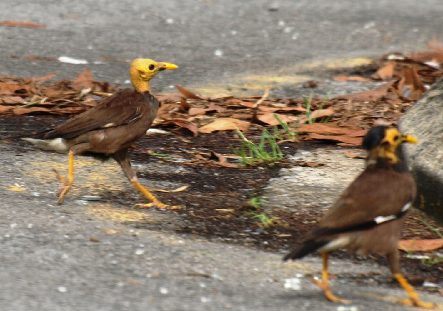 20100821_common_myna_kuching_tama_3