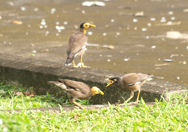 20100821_common_myna_kuching_taman_