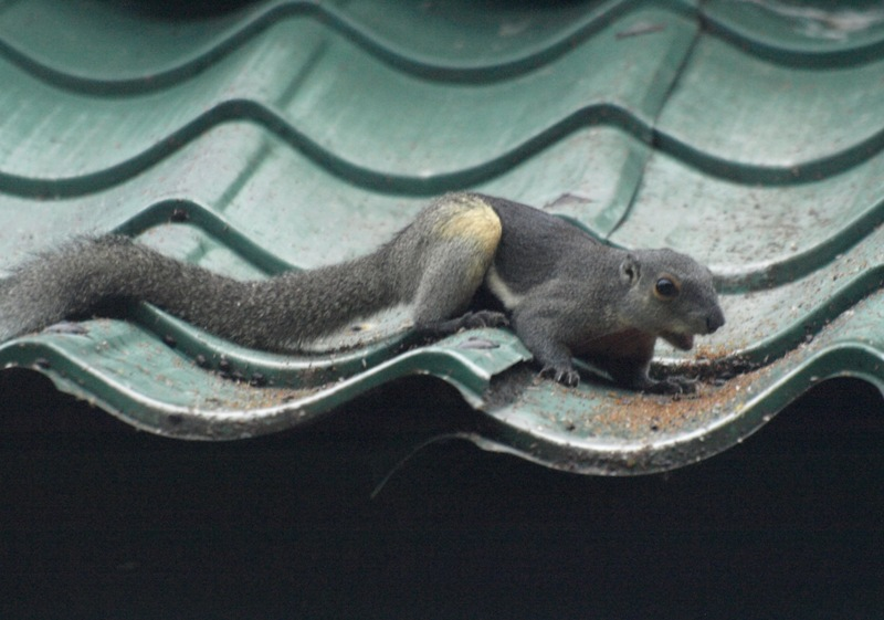 20100825_squirrel_mulu_resort_mor_2