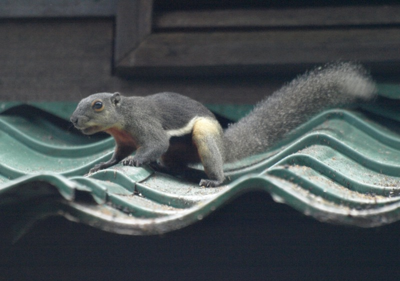 20100825_squirrel_mulu_resort_mor_4