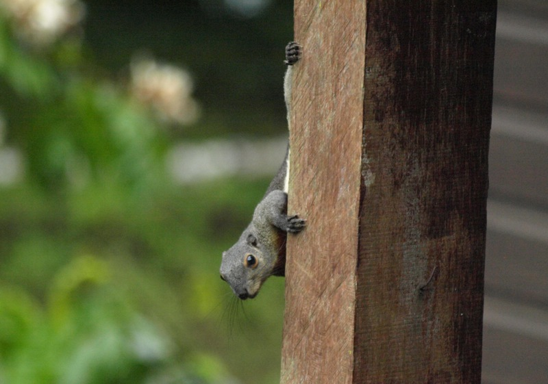 20100825_squirrel_mulu_resort_mor_5