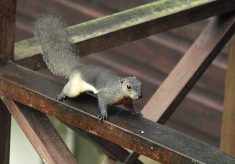 20100825_squirrel_mulu_resort_mor_6