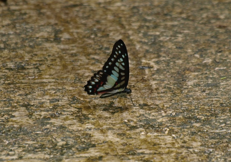 20100823_butterfly_niah_cave_trai_5