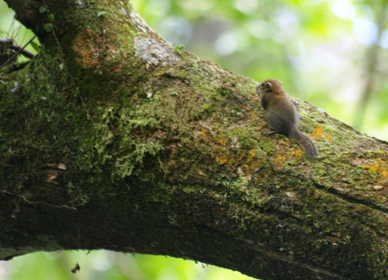 20100824_pigmy_squirrel_mulu_reso_4