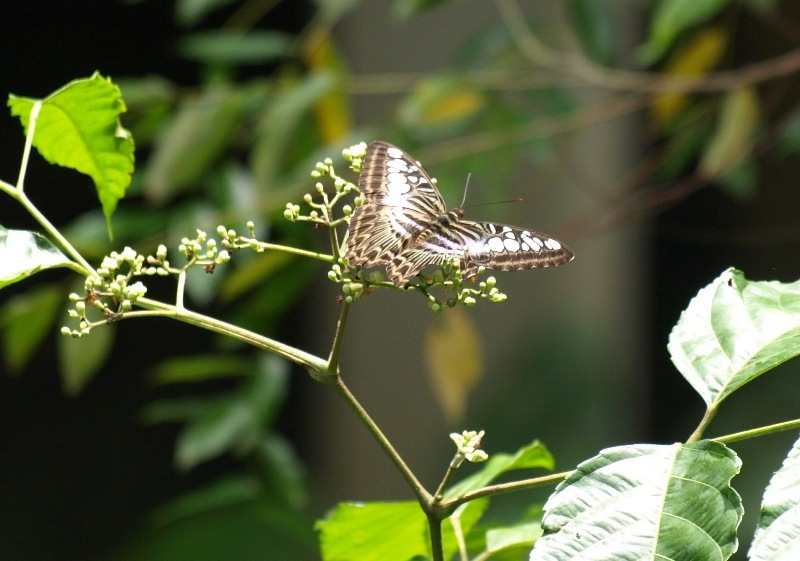 20100826_butterfly_mulu_resort05