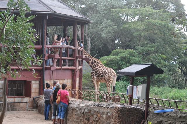Giraffe_centre_2