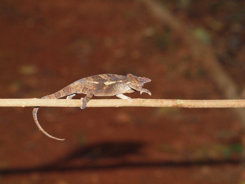 2011jul27_chameleon_marangumandara_