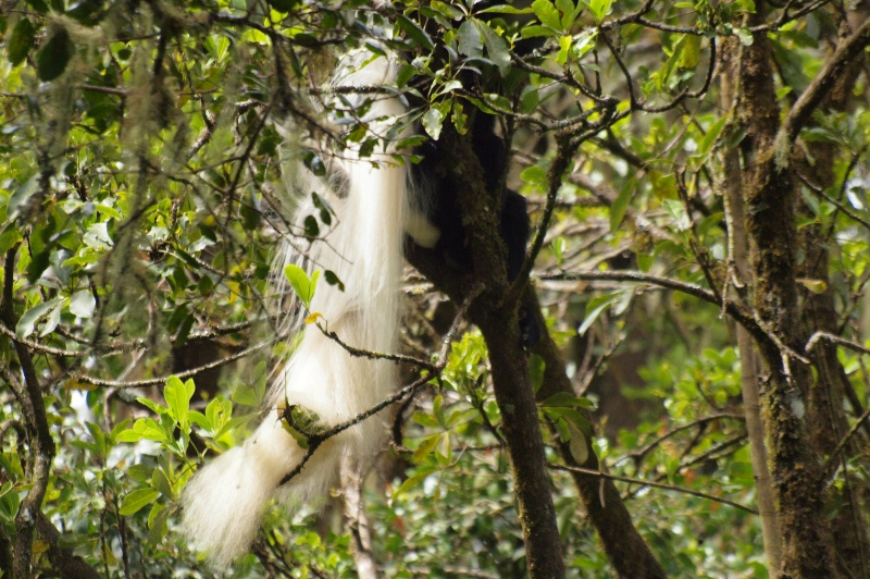 2011jul31_black_and_white_colobus_2