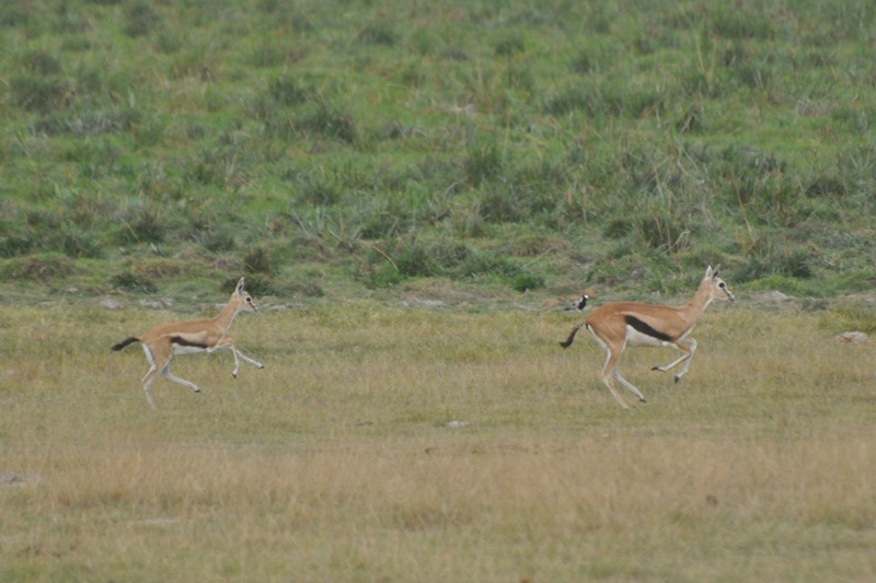 2011aug02_evening_game_drive_ambo_2