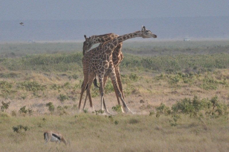 2011aug03_morning_game_drive_ambo_3