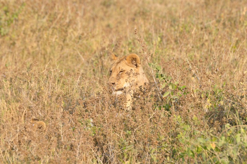 2011aug02_morning_game_drive_ambose