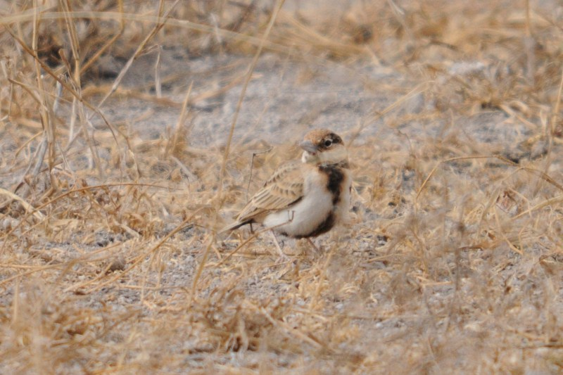 2011aug2_fichers_sparrowlark