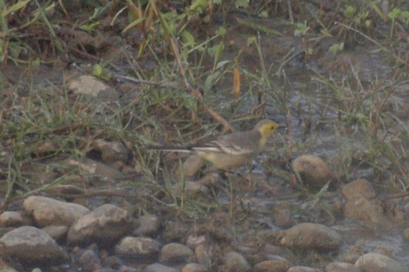 2011dec28_citrine_wagtail_chitwan_m