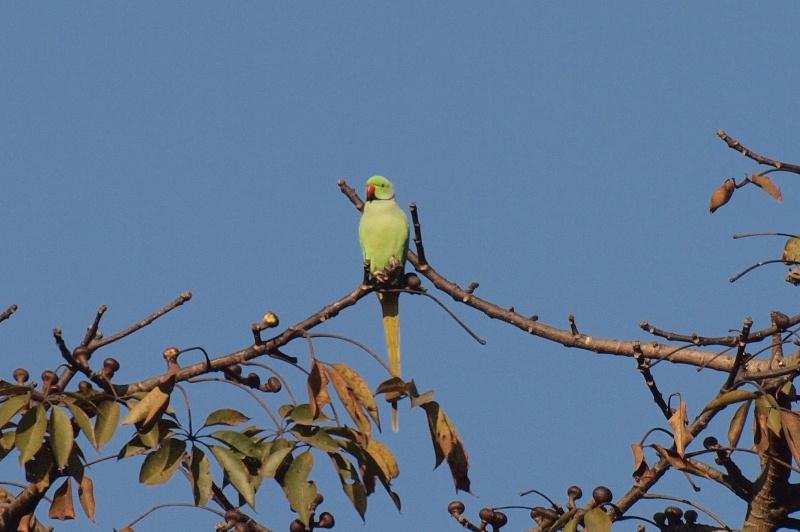 Roseringed_parakeet3