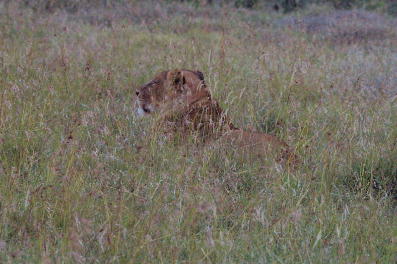 2012july26_sweetwaters_lion10