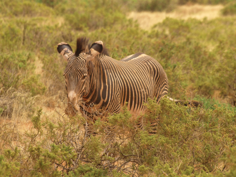 2012july27_samburu_farst_drive_grev
