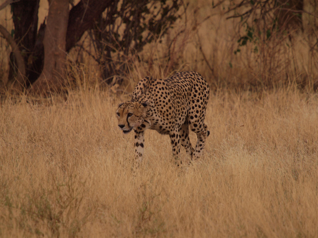 2012july28_sambulu_nr_cheetah09